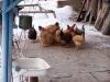 arzni_chicken